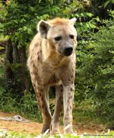 Coming Hyena by RHCP-Cream