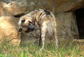 Hyena Tail by RHCP-Cream