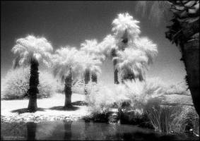 Infrared Palms by reydoo