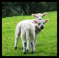 Little Lambs by pdutogepi