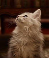 Sasha no. 11, Siberian kitten by Mischi3vo