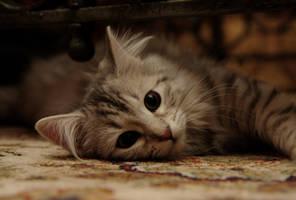 Siberian Kitten by Mischi3vo