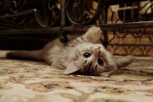 Siberian Kitten, Sasha by Mischi3vo