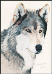 another Gray Wolf.. by Venilia