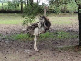 Ostrich by ABundridge