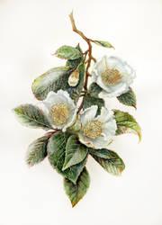 Stewartia pseudocamellia by Reza-malinova