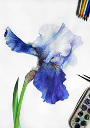 Iris by Reza-malinova