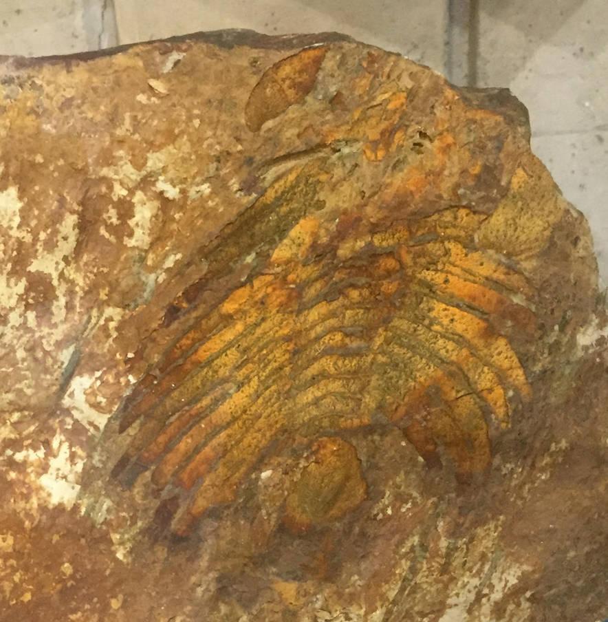 Paradoxides brachyrhachis by casielles