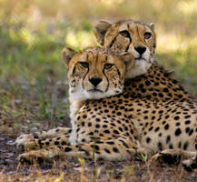 Cheetahs by hoboinaschoolbus