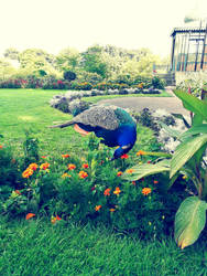 peacock and flowers  by Vreya
