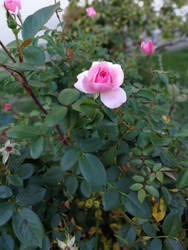 roses are pink by Vreya