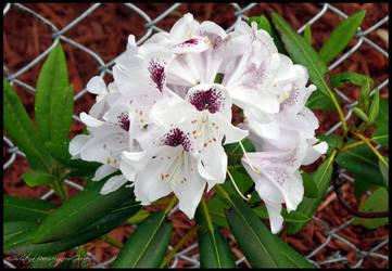 Rhododendron by GarvsGirl