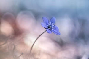 Blue Anemones time by Sparvoga