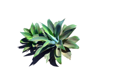 Century Catus Stock Photo_0154 PNG by annamae22