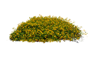 Yellow Flower Bed Stock Photo DSC 0104 - PNG by annamae22