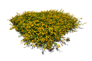 Yellow Flower Bed Stock Photo DSC 0103 - PNG by annamae22