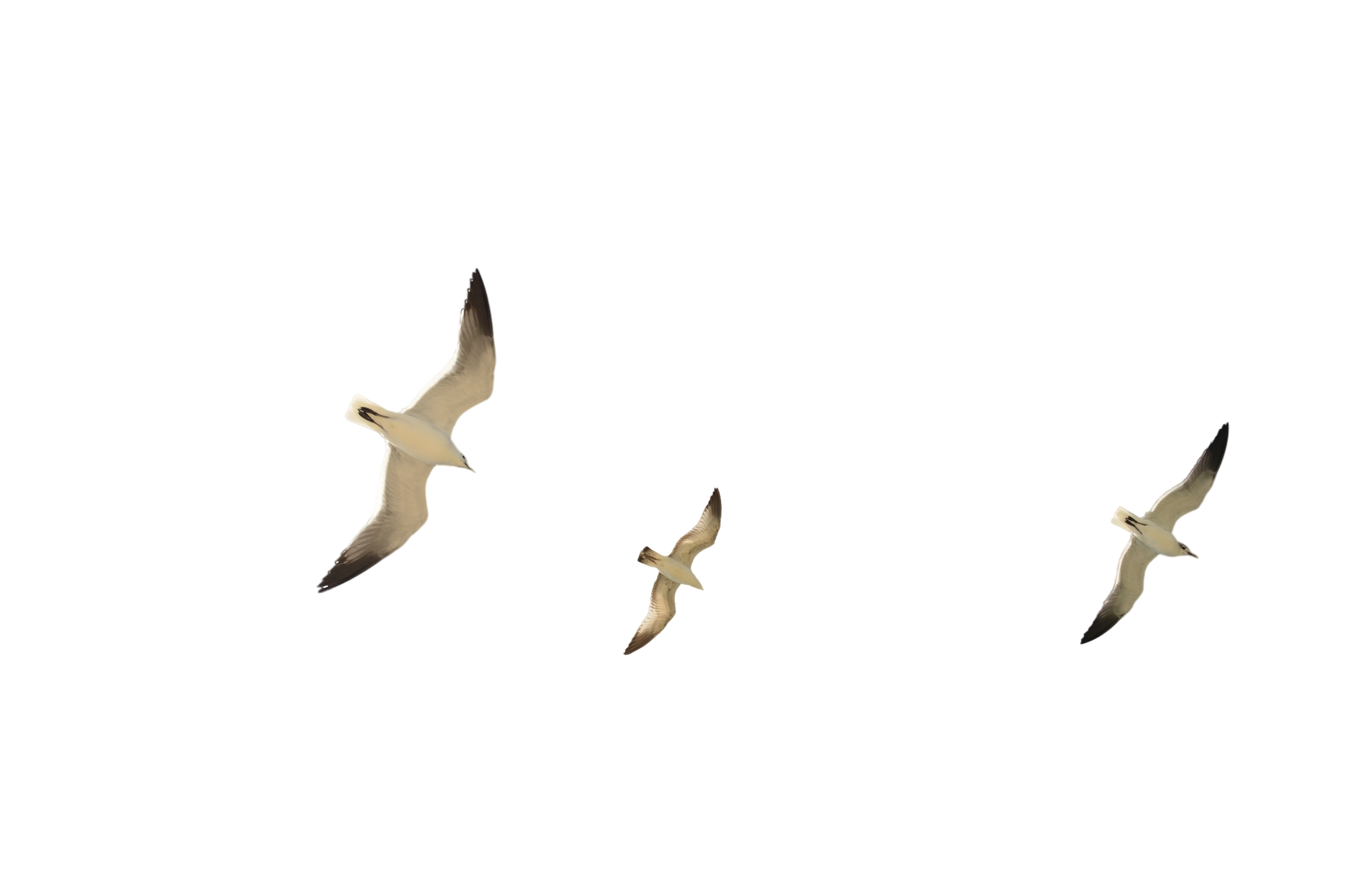 Flock of SeaGulls Stock Photo DSC 0408 PNG by annamae22 on