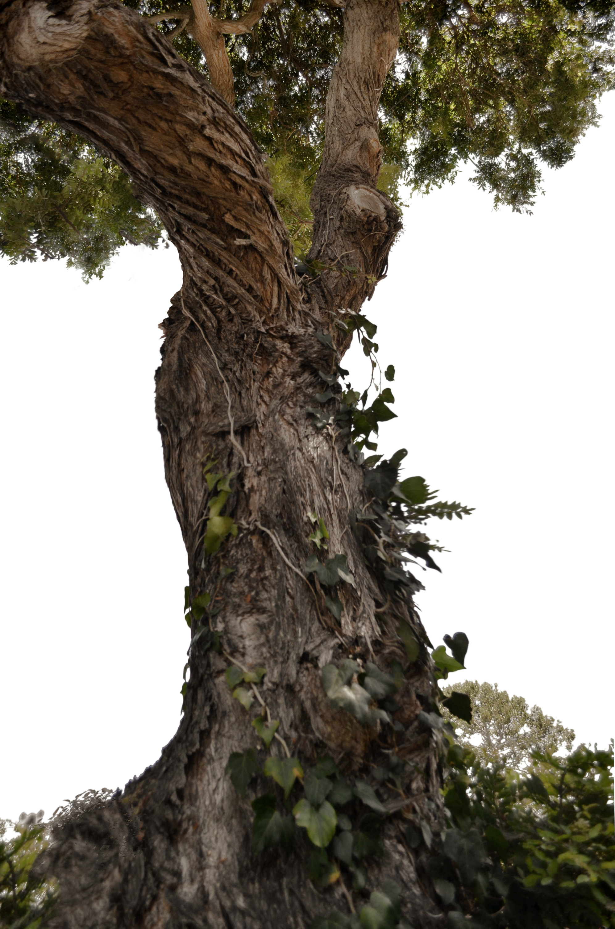 Twisted Tree with Ivy Stock Photo 0716 PNG by annamae22 on ...