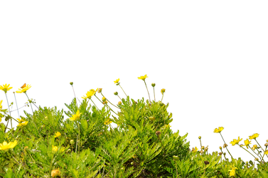 Yellow WildFlower Ground Cover StockPhoto 0090 PNG by annamae22