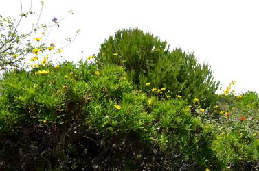 Ground Cover Wild Flowers Stock Photo 0088 PNG (2 by annamae22