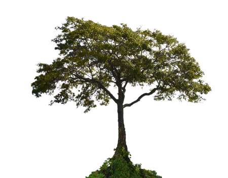 Tree PNG Stock Photo  0001 by annamae22