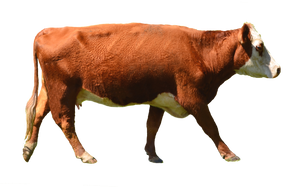 Cow PNG Stock Photo 0010 Complete CutOut by annamae22