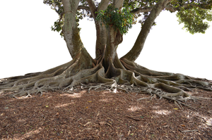 Mangrove Tree PNG  In Landscape Stock 0095 by annamae22