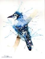 Blue Jay by HCHughes