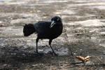 Crow I by EverythingIsInStock