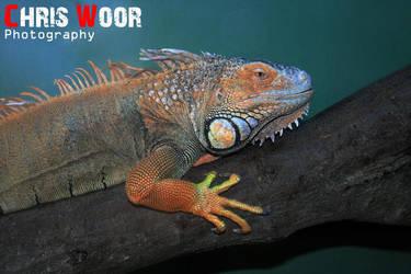 Iguana by ChrisWoorPhotography