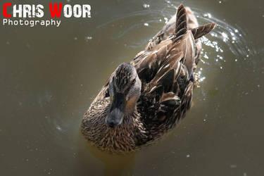 Mallard by ChrisWoorPhotography