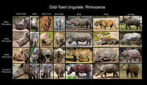 Reference Chart: Rhinoceros by RPatterson