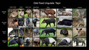 Reference Chart: Tapir by RPatterson