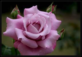 Rose named Charles de Gaulle by Firey-Sunset