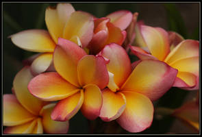 Plumeria Tricolour Maybe.. by Firey-Sunset