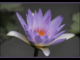 Another Waterlily by Firey-Sunset