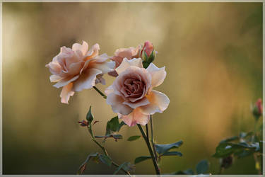 Julia's Rose Again. by Firey-Sunset