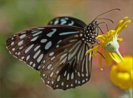 Butterfly Timumala hamata by Firey-Sunset