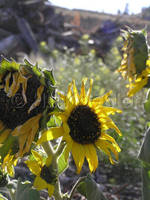 Ghost town Sunflowers by 12monthsOFwinter