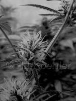 Marijuana Flowering by 12monthsOFwinter