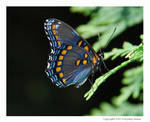 Butterfly Blues by everydayrenee