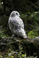 Owl by Szczur88