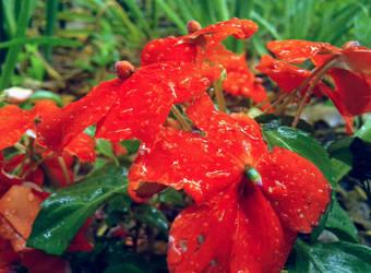 Wet Impatiens by emilycfpa