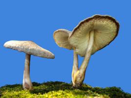 More Mushrooms 9 by Dracoart-Stock
