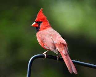 Cardinal Stock by Dracoart-Stock