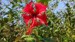A beautiful red hibiscus flower. by vish26385