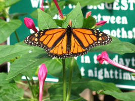 Monarch Butterfly Mackinac Isl by BillMeahan