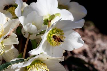 Honigbiene auf Helleborus spec. by NecScireFasEstOmnia