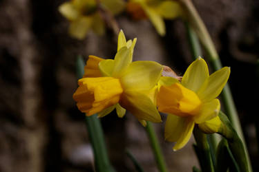 Narcissus pseudonarcissus by NecScireFasEstOmnia