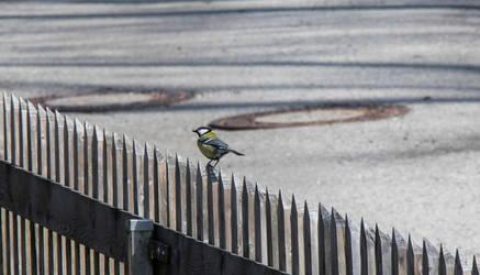 Bird - Kohlmeise by NecScireFasEstOmnia